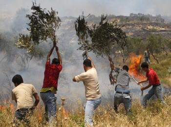 Kebun zaitun warga Palestina dibakar pemukim Yahudi (foto: av)