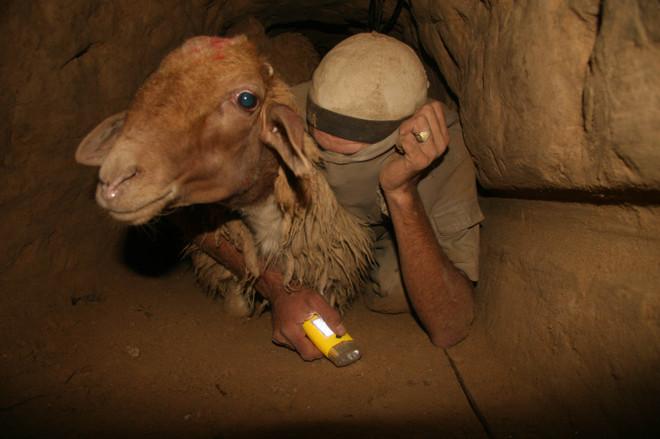 Seorang warga Gaza membawa masuk seekor anak sapi lewat terowongan rahasia. foto: BT'Selem