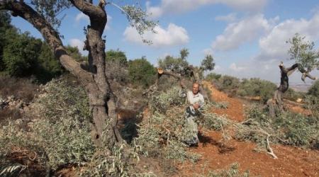 Pada 19 Februari 2014 lalu, pemukim ekstremis juga menyerang kebun zaitun milik Palestina di Ramallah dan mencabut 700 bibit zaitun. Foto: IMEMC
