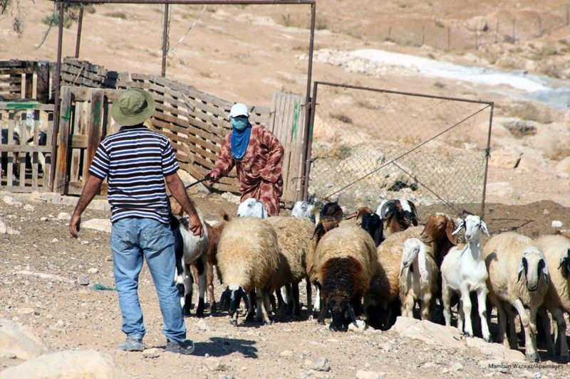 Penggembala Palestina menggiring dombanya di desa Jimba di sebelah selatan Yatta, dekat Al-Khalil, Tepi Barat terjajah, pada 1 Oktober 2013. Foto: Mamoun Wazwaz/Apaimages
