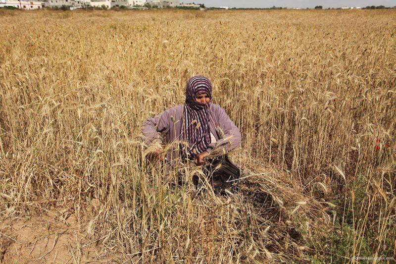 Seorang petani Palestina sedang memeriksa tanamannya yang dirusak serdadu Israel [Middle East Monitor]